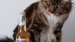 Cat loves Corona beer!