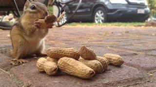Cute Chipmunk eating peanuts