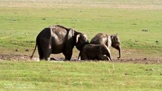 Elephants Enjoying with their Family