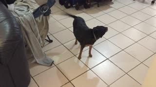 Ferocious Adorable Doggie Guarding Home - ROAR!!!