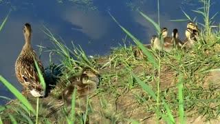 Ducks, lake and swimming in the big lake