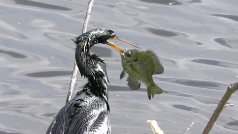 Anhinga with a large fish in its beak