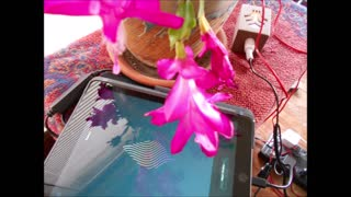 Holiday Cheer ~ Christmas Cactus in Bloom