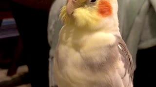 Opera Singing Cockatiel
