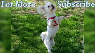 Dogs dancing - funny compilation