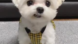 Cute Little Puppy Dressed Up Before Going For Walk