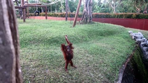 Funny orangutan interact with zoo keepers