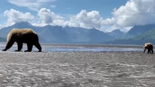 Mama Bear and Cubs Dig for Clams