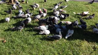 Pigeons Picking Up Some Rice On Grass