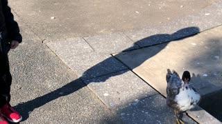 Little Boy Befriends Neighborhood Park Duck