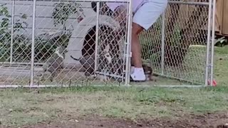 Man tries to cope with a litter of energetic puppies