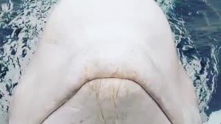 Amazing Close Encounter With Beluga Whale