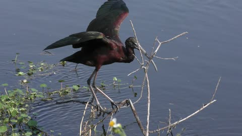 Glossy Ibis perches in the wind