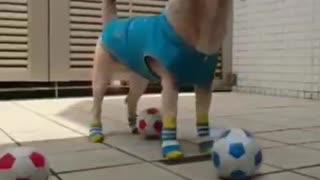 Dog plays football