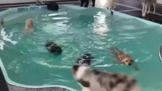 Many dogs swimming pool