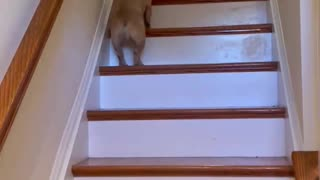 French Bulldog Hops of Stairs Like a Bunny