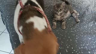 Kitten and dog terribly bored during Covid19 lock down