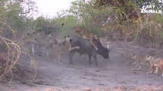 wild animals attack