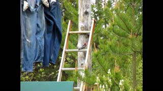 Woodpecker on a Ladder