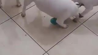 White playing dog