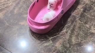 Adorable teacup puppies... Mini pups play in shoe