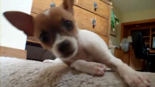 Killer Chihuahua 2