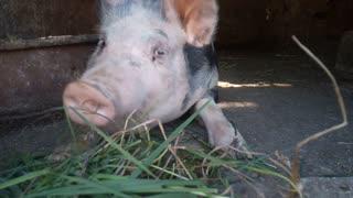 Adorable Pig Eats Grass