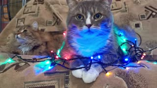 Cat Covered with Christmas Lights | Cutie Cats