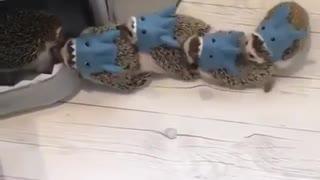 Small kids Hedgehog playing Music chairs