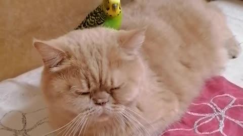 Patient cat lets parrot sit on her back