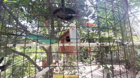 Love Birds Parrot Make Loving cut