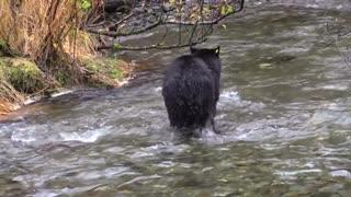 Hun#t a black bear