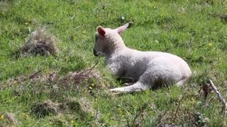 Watch the little lamb lying on the grass and enjoying its time on the countryside farm