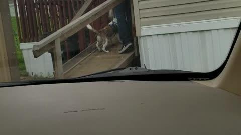 Dog walks new toy up ramp