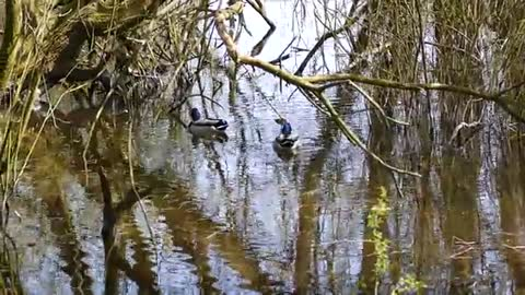 Watch colorful ducks swimming in the lake at noon1