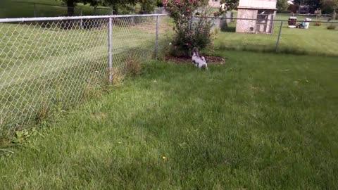 Puppy confuses plastic bag for intruder