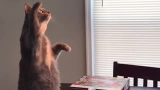 Cat sits like prairie dog to inspect lampshade