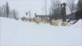 Slow motion ducks take flight!