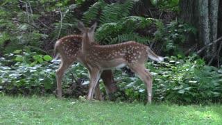 Two Baby Deer