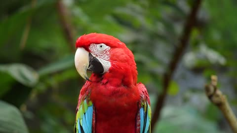 The beauty of the red parrot is remarkable and it flaunts it