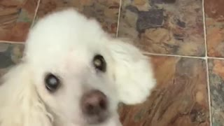 Adorable dog does a silly tap dance when he smells chicken