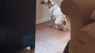 Quarantined doggy is clearly losing his mind