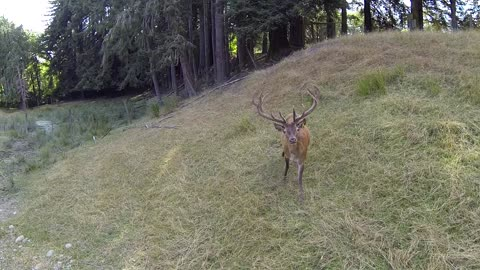 Curious Red Deer Fascinated By Hovering Drone