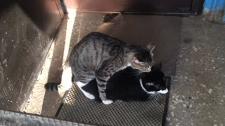 Watch the cat mating season