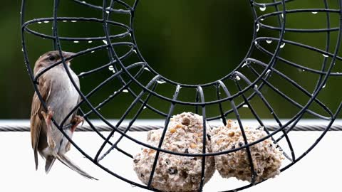 Bird Sparrow Sperling Rain Wet Slippery
