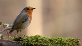 robin bird in nature