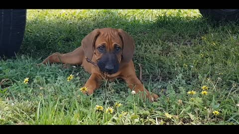 Gorgeous Wrinkly Ridgie Puppy Doing Lazy Play In The Shade