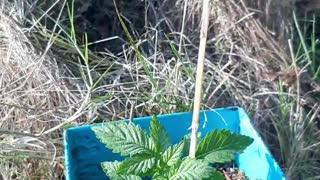 flo seeds medical marijuana license holder