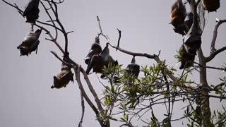Group Of Bats