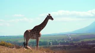 Giraffe Shots